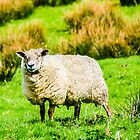 Portrait of a Sheep by mcstory