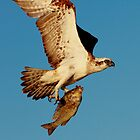 Osprey with a black snapper by loza1976