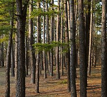 In the Pines by lkbphotography