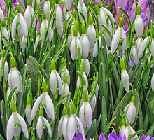 Spring snowdrops and crocuses by Mortimer123