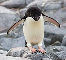 Adelie Penguin - Antarctica by Kellie Netherwood