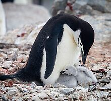 Feeding Penguin Chicks - Antarctica by Kellie Netherwood