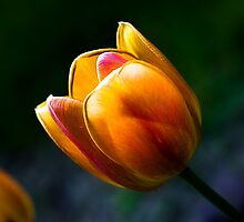 Tulip in the springtime - Iowa by TheJill