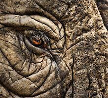 SKIN of ELEPHANT by Daniel-Hagerman