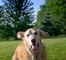 Golden Retriever by TheJill