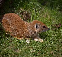 Mongoose by Ray Clarke