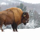 Buffalo in Winter by Jim Cumming