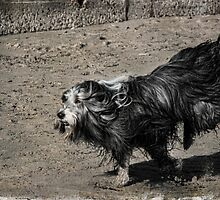 Shaggy Dog by Amar-Images
