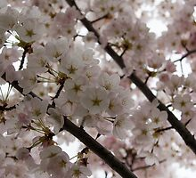 Spring is Beautiful - A Cloud of Pastel Pink Blossoms by Georgia Mizuleva