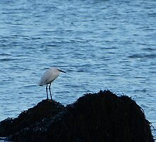 Bird on a rock by Gill66