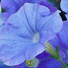 Blue Petunia Blossom by Sandra Foster