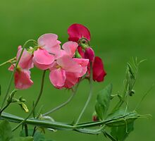 Sweet Peas in Spring by Jensphotos
