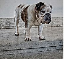 bulldog in white by alicenellis
