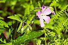 Wood Geranium - Wild Geranium - Geranium maculatum by MotherNature