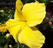 "Hibiscus Malvaceae ""Yellow"" Flower Plant 2 by artkrannie"