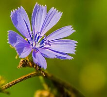 Chicory by mcstory