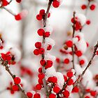 Red Berries in Winter by mcstory