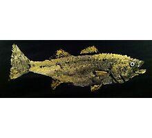 Striped Bass  Photographic Print