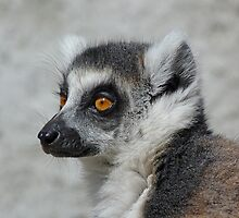 Contemplative Ring-tailed Lemur by Margaret Saheed