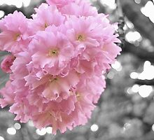 Cherry Blossom 1 by jmfotoz