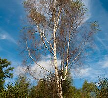 Plant, Tree Silver birch, Betula pendula by Hugh McKean