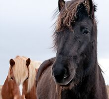 Iceland horses by Ovation66