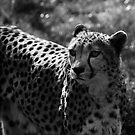 Speed of a Cheetah by liberthine01
