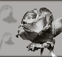 Black and White Red Rose by mlphoto