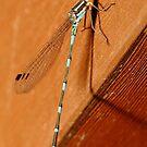 Blue Dragon Fly by Tim Beasley