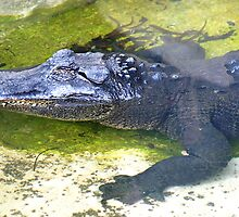 American Alligator by Henrik Lehnerer