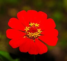 Red Zinnia  by mcstory
