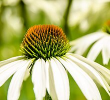 White Coneflower by mcstory