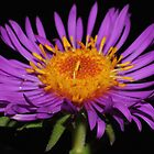 New England Aster by Kane Slater