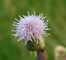 Flowering Thistle by phoenixlament