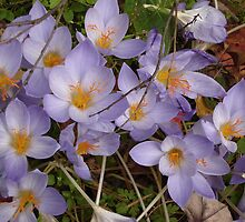 Autumn Crocus by Ziporah Hildebrandt