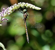 Beautiful Dragonfly by LeJour