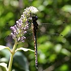 Dragonfly (2) by LeJour