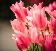 Pink Tulips by colorplayer
