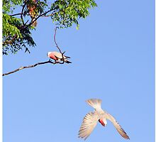 Galah in flight by InspiredEye