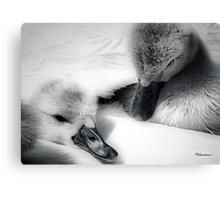 Wrapped In Swans Down Canvas Print