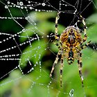 Dewy Spider by relayer51