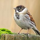Male Reed Bunting by Mark Hughes