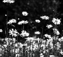 Daisy Field by Anne Gilbert