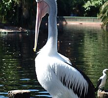 Pelican at Perth Zoo by kalaryder