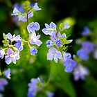 Tiny Blue Groundcover Flower by Elizabeth Thomas