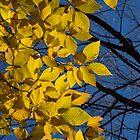 Sapphire and Gold - Blue Sky, Golden Leaves & Bright Sunlight by Georgia Mizuleva