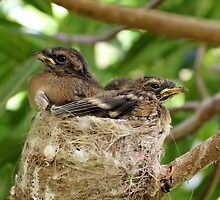 Fantail chicks by michelle roseman