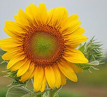 Sunflower by adastraimages