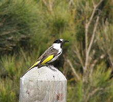 Close-up of Eastern New Holland Honeyeater, Nambucca Heads. by Rita Blom