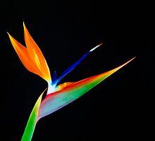 Bird of Paradise by Ram Vasudev